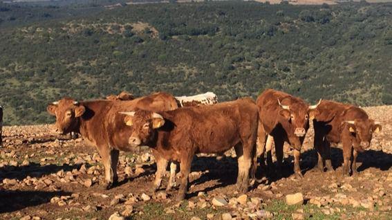 """Un Juzgado de Ciudad Real autoriza definitivamente """"el sacrificio, decomiso y destrucción"""" de las vacas maltratadas de Navalpino"""