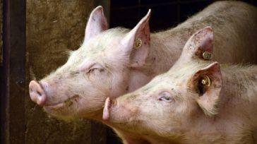 La peste porcina africana en China abre la puerta a mayores exportaciones de la industria agroalimentaria castellano-manchega