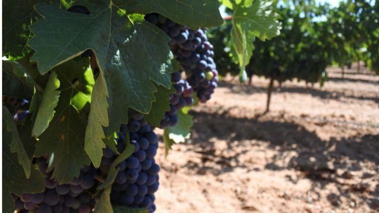 Castilla-La Mancha amplía hasta el 31 de julio el plazo de solicitudes de certificación de la reestructuración del viñedo
