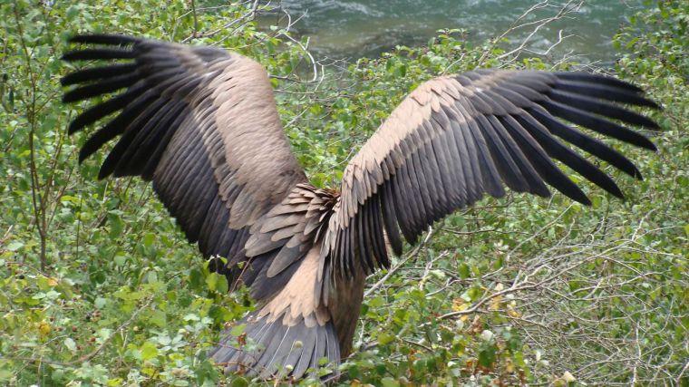Investigadores del IREC avanzan en el uso de las aves rapaces como centinelas de la contaminación química en Europa