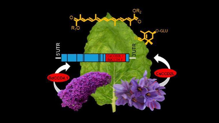 Investigadores de la UCLM producen los pigmentos del azafrán en la planta del tabaco mediante ingeniería genética