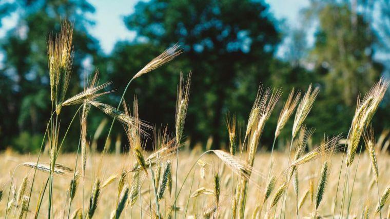 Castilla-La Mancha lidera el cultivo ecológico de cereales y legumbres en España