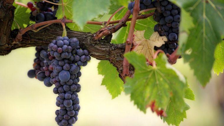 Castilla-La Mancha acapara el 48% del valor generado por la viticultura nacional