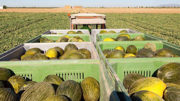 Mercadona firma con cuatro proveedores de CLM para obtener las 60.000 toneladas de melón piel de sapo que comercializará esta temporada