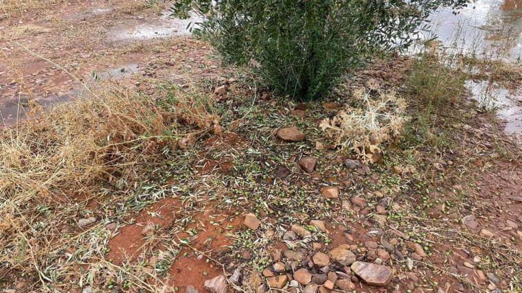 La DANA ocasiona importantes daños en el olivar y en plantaciones hortícolas de la provincia de Toledo, según Asaja