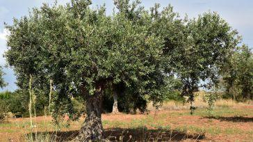 El olivar tradicional, el de mayor peso en CLM, en riesgo por su menor rentabilidad