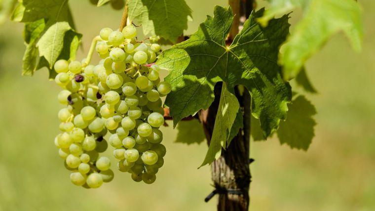 Asaja CLM alerta de 'sospechas' de fraude en el sector vitivinícola y pide más control, sanciones y cierre de bodegas